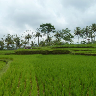 Green rice fields of Bali
